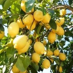 Enterdonat Limon (150cm+) Fidanı