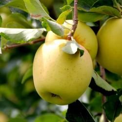 Golden Delicious Elma Fidanı (Açık Kök)