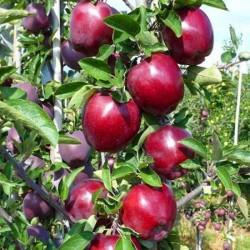 Jeromine Elma Fidanı (Açık Kök)