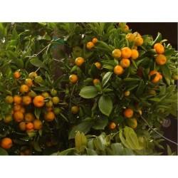 Üzeri Meyveli Alacalı Süs Mandalinası Fidanı