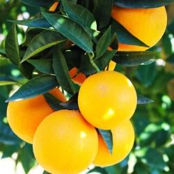 Yafa Portakal Fidanı