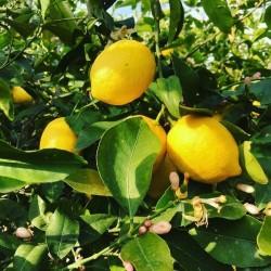 Yediveren (100 cm+) Limon Fidanı
