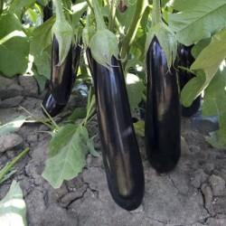 Anatolia F1 Patlıcan Fidesi