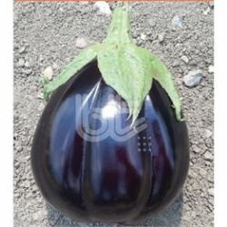 Çantalı F1 Patlıcan Fidesi